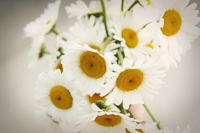 daisiesweb
