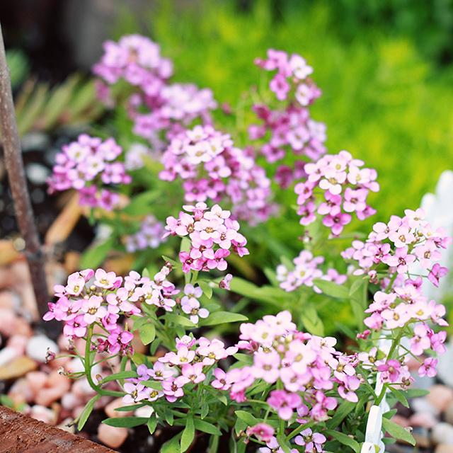 fairy-flowers