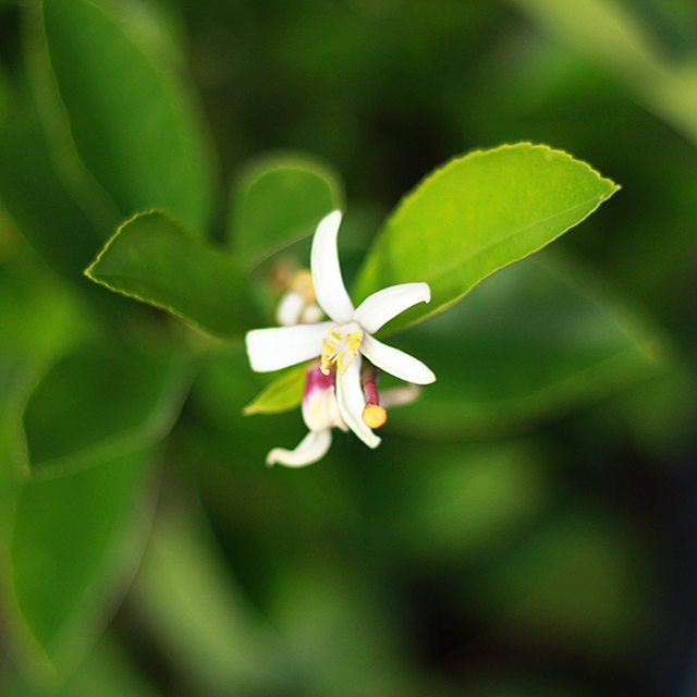 lemon-blossom