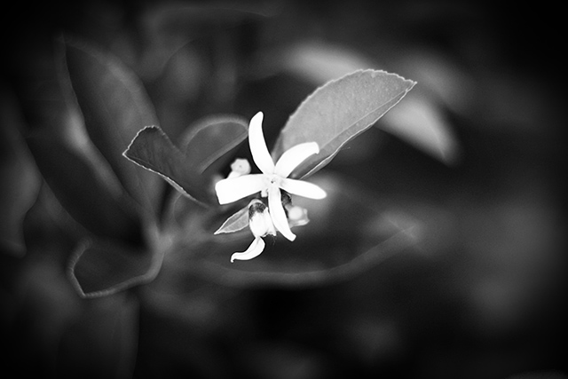 lemon-blossombw